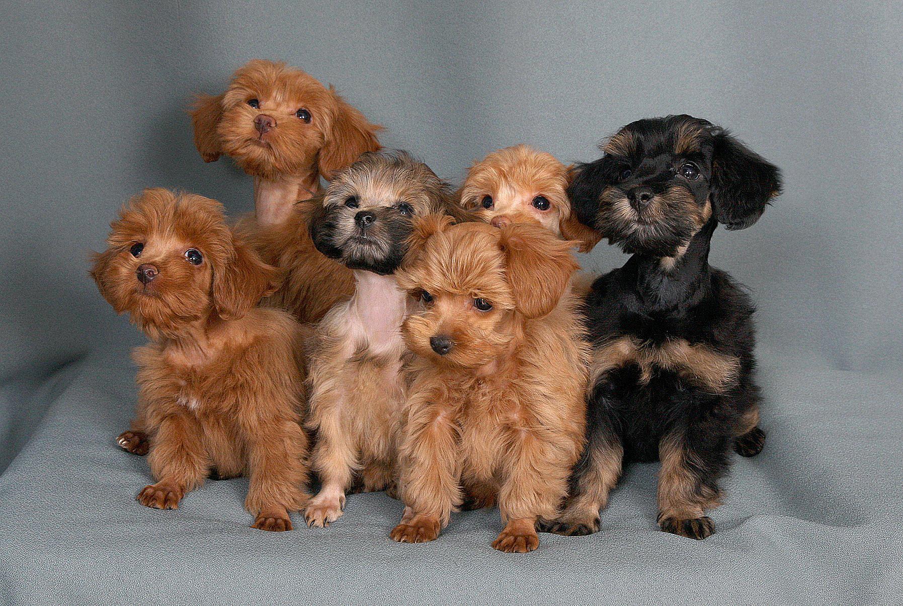 Собаки декоративных пород