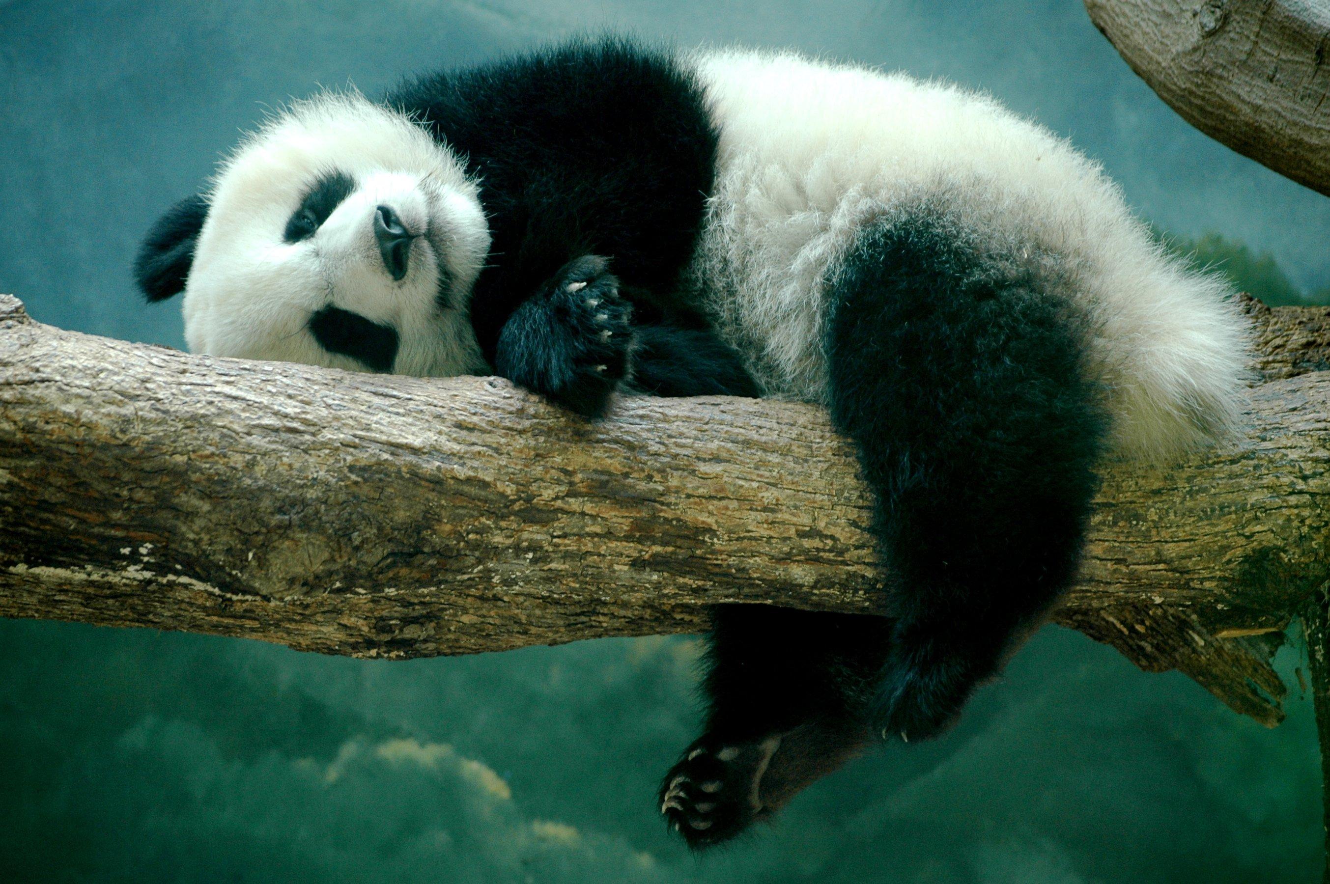 Удивительная панда