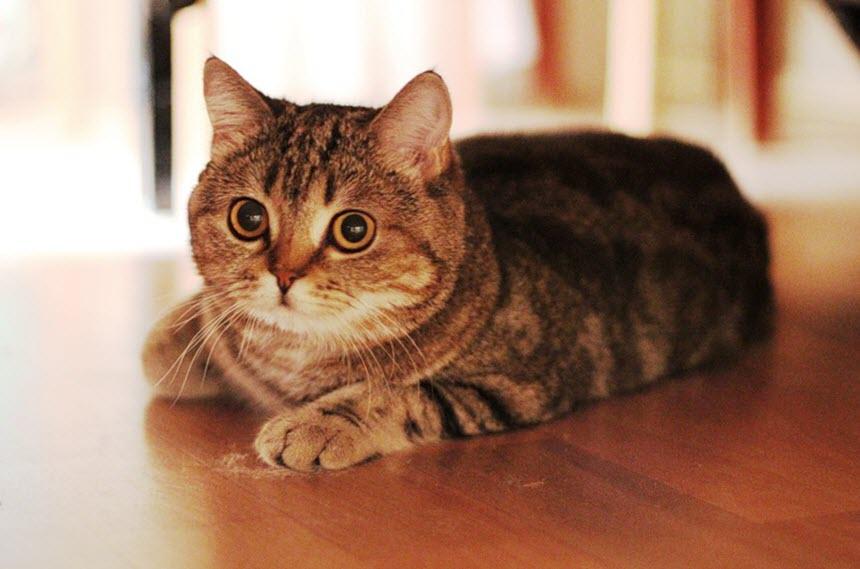 Шотландские скоттиш: некоторые особенности ухода за кошками