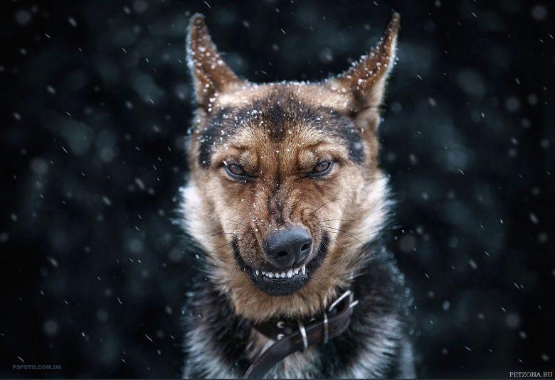 Агрессивное поведение у собак. Виды агрессии.