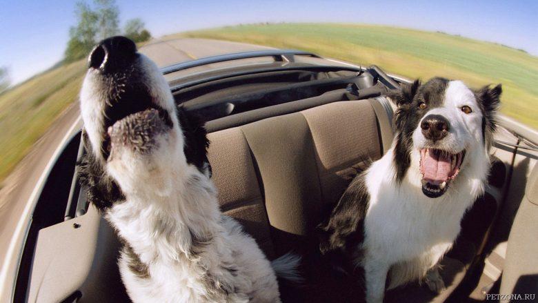 Основные правила приучения собаки к поездкам в машине