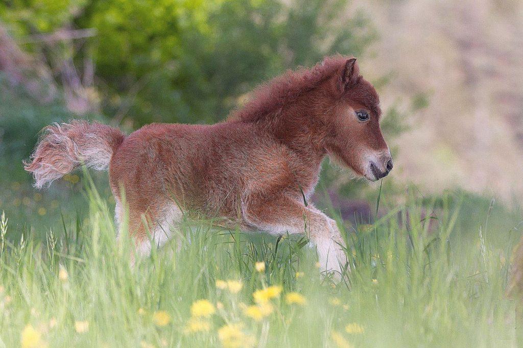 Карликовая лошадка вместо собаки в доме
