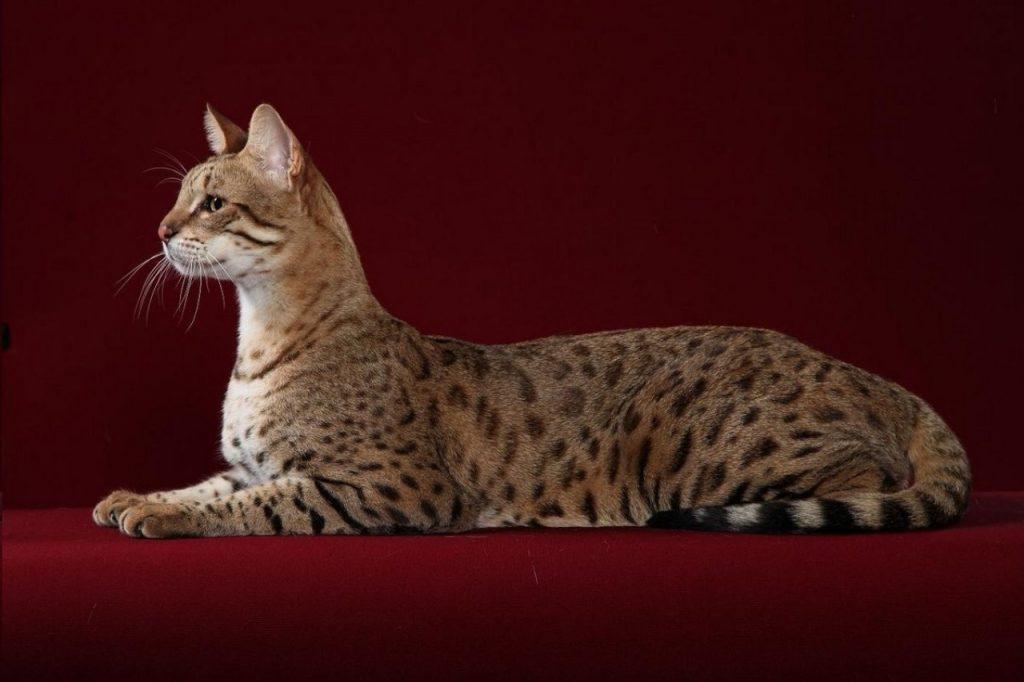 Самые дорогие породы кошек мира