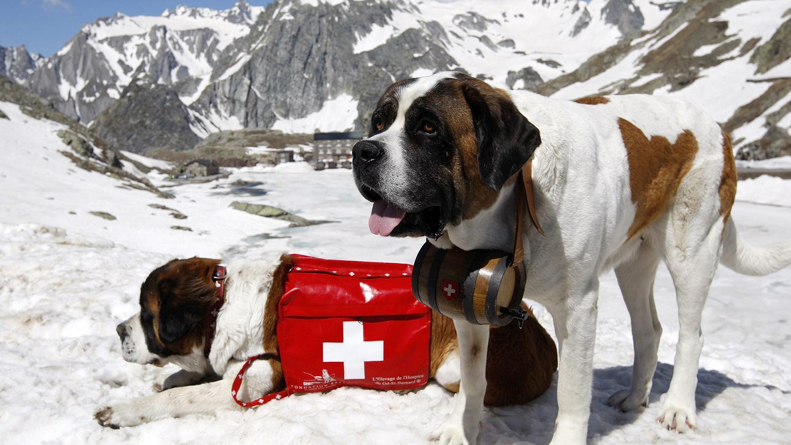 Четырехлапый помощник спасателей - сенбернар