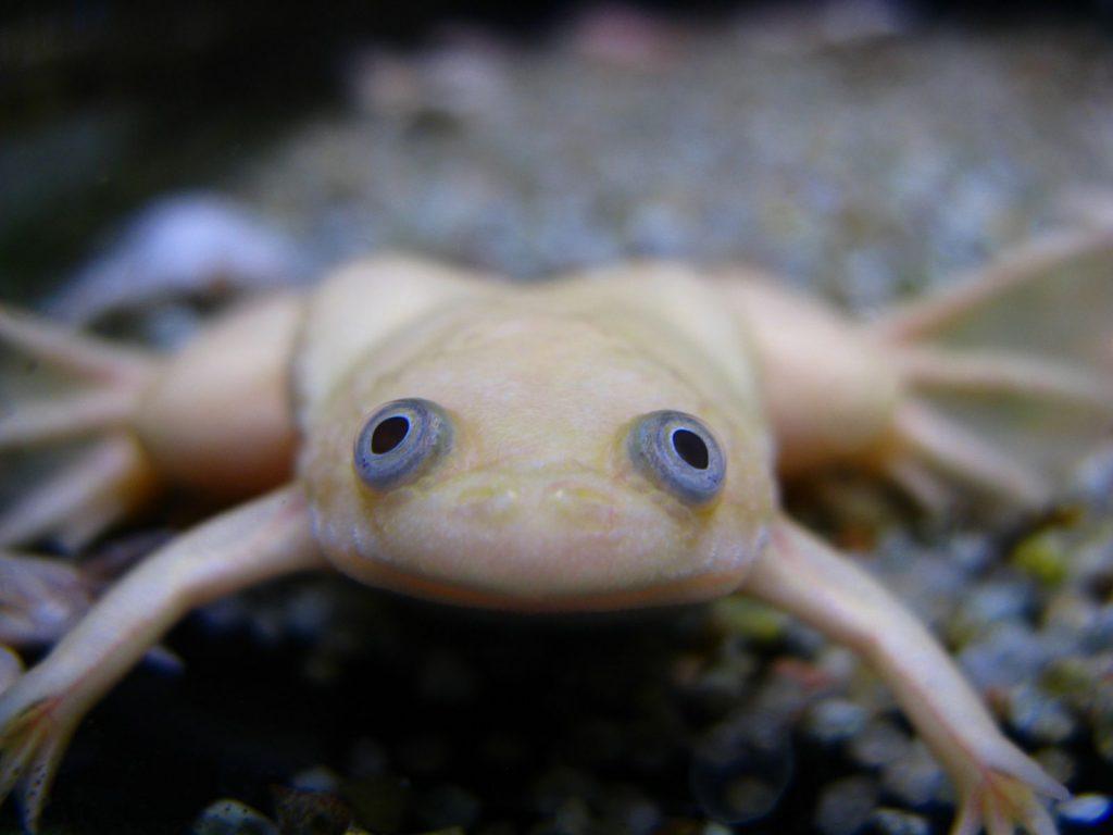 Содержание и разведение шпорцевой лягушки