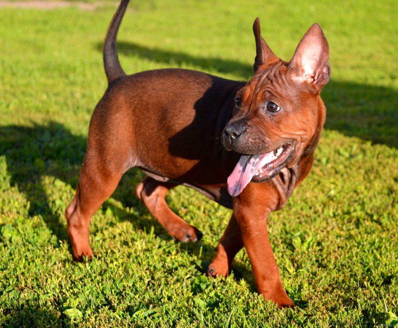 Редкие породы собак фото