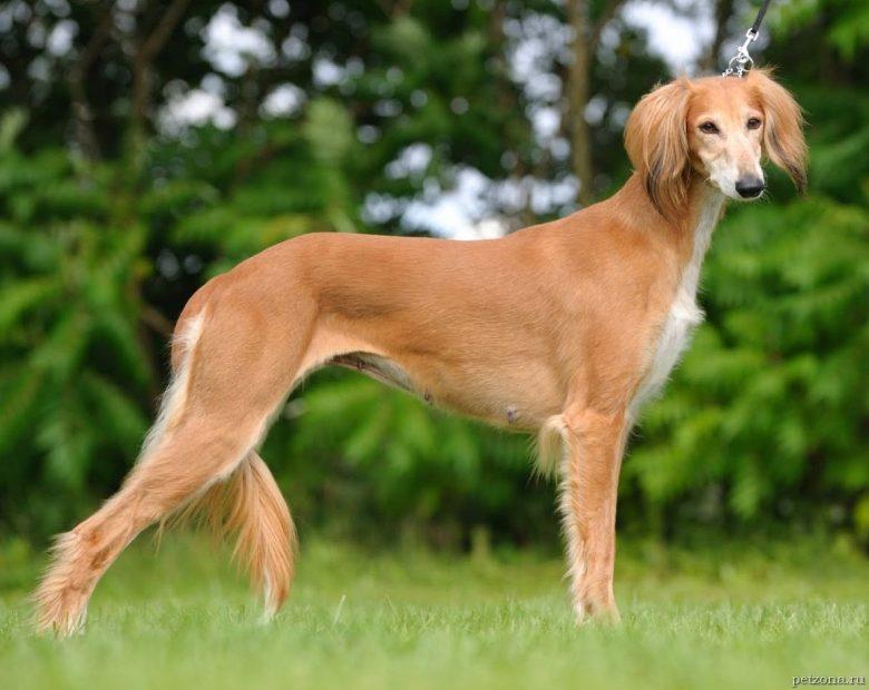 Топ-5 редких пород собак (часть 1)
