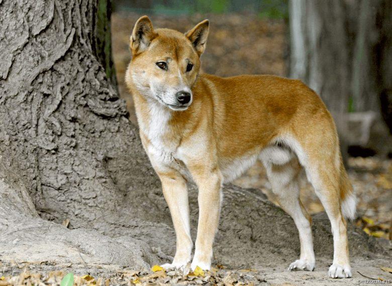 Топ-5 редких пород собак (часть 2)