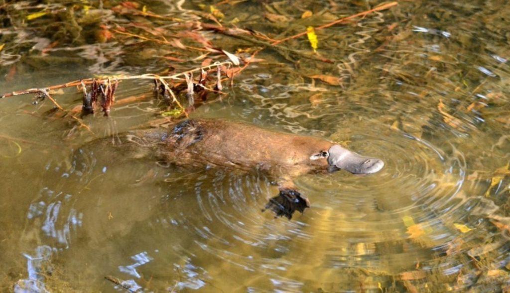 Утконос - чудо-животное