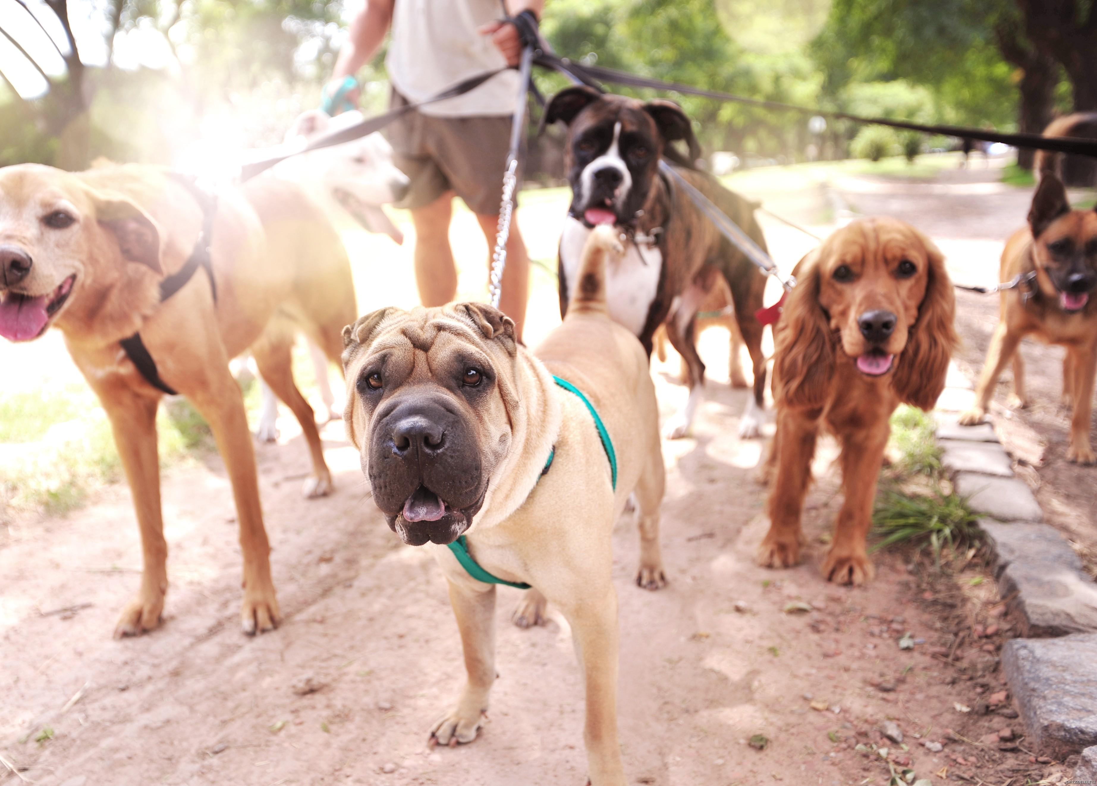 Подработка - выгул собак за деньги