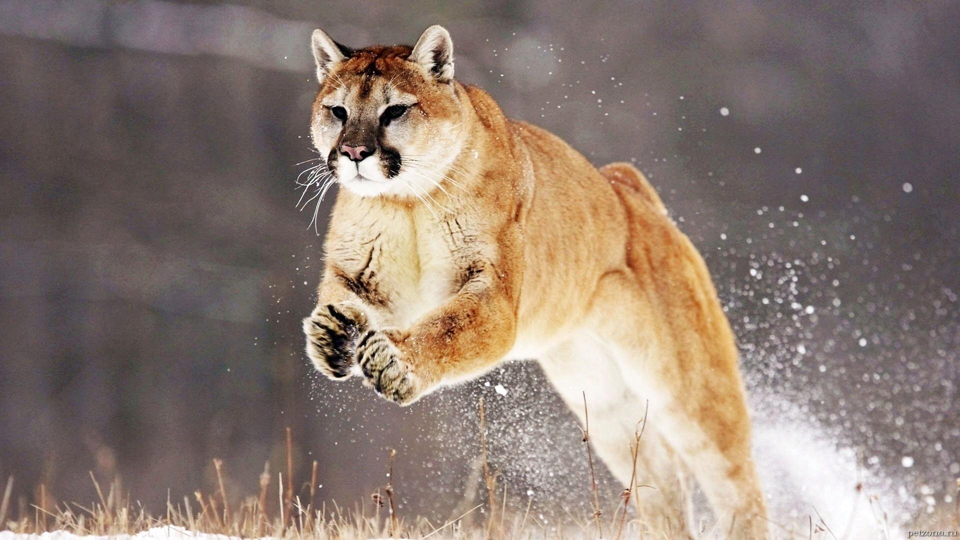 Пума - горный лев