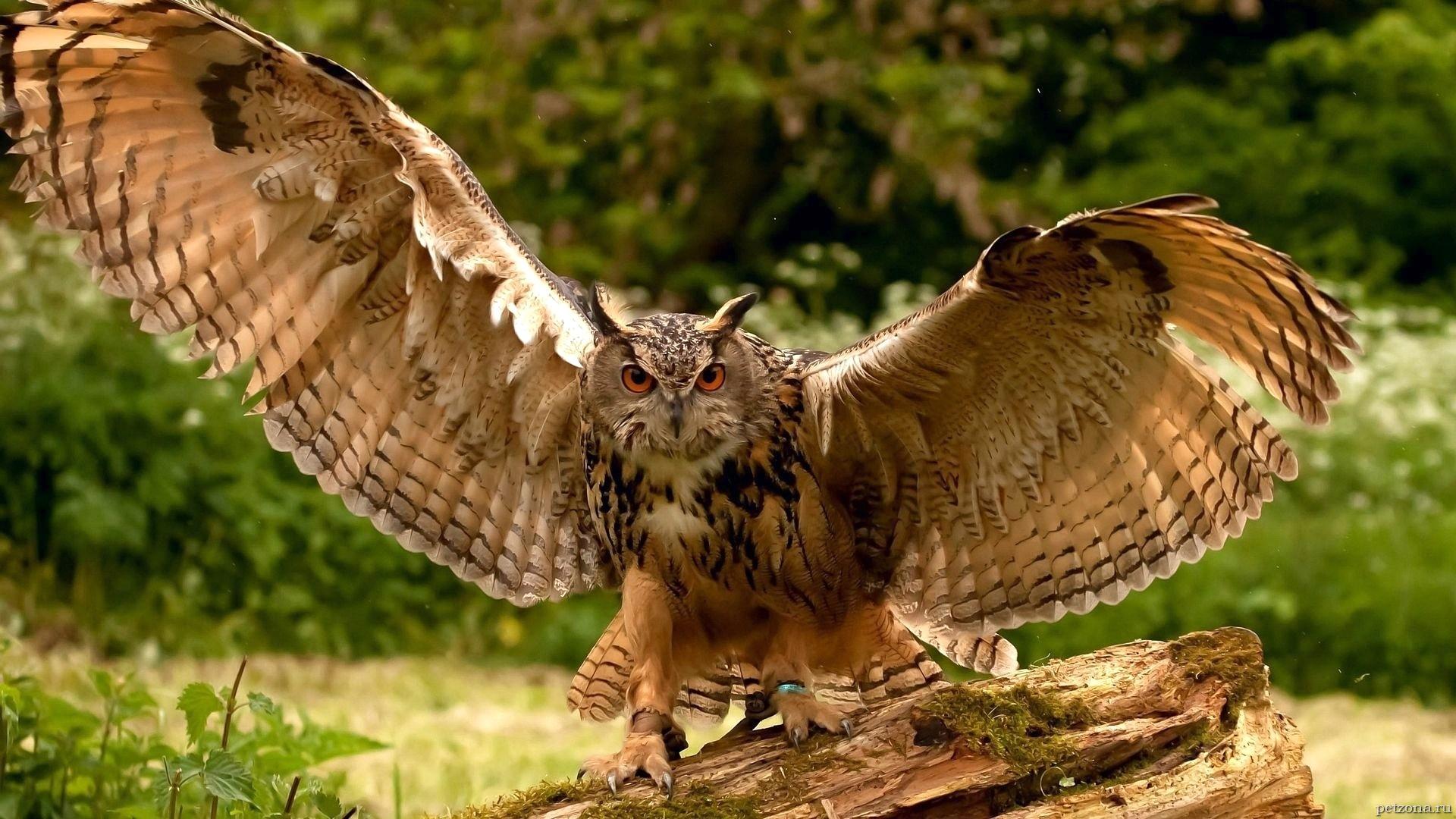 Символ мудрости - сова