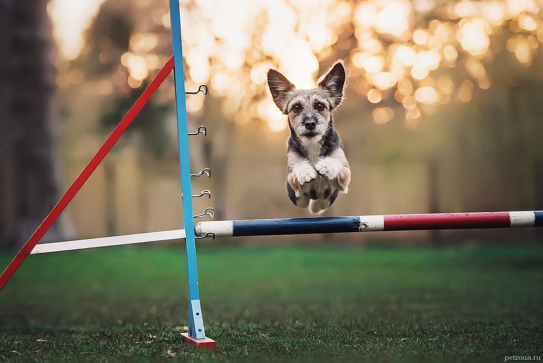 Аджилити для собак - что это и как научить собаку