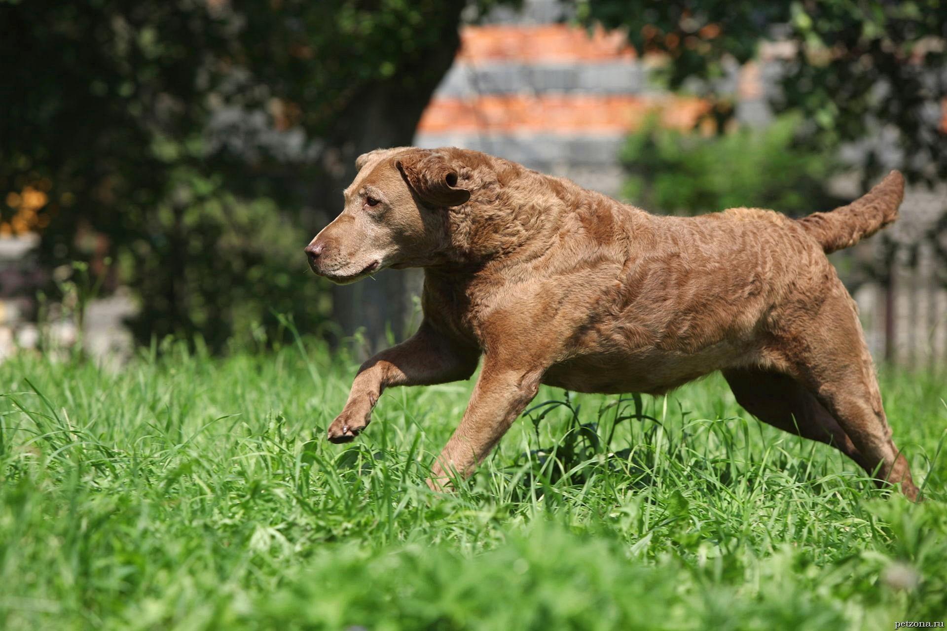 Чесапик-бей-ретривер - смелый и неутомимый охотник