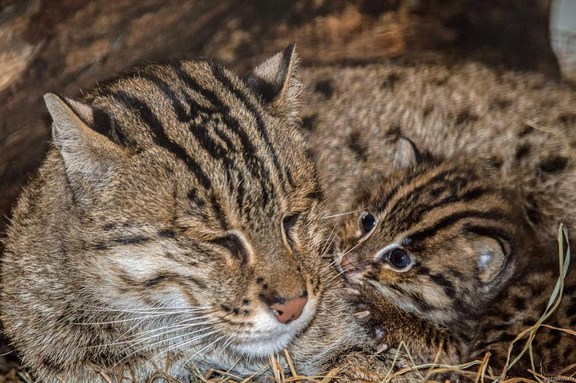 Кот-рыболов - крапчатая кошка из Азии