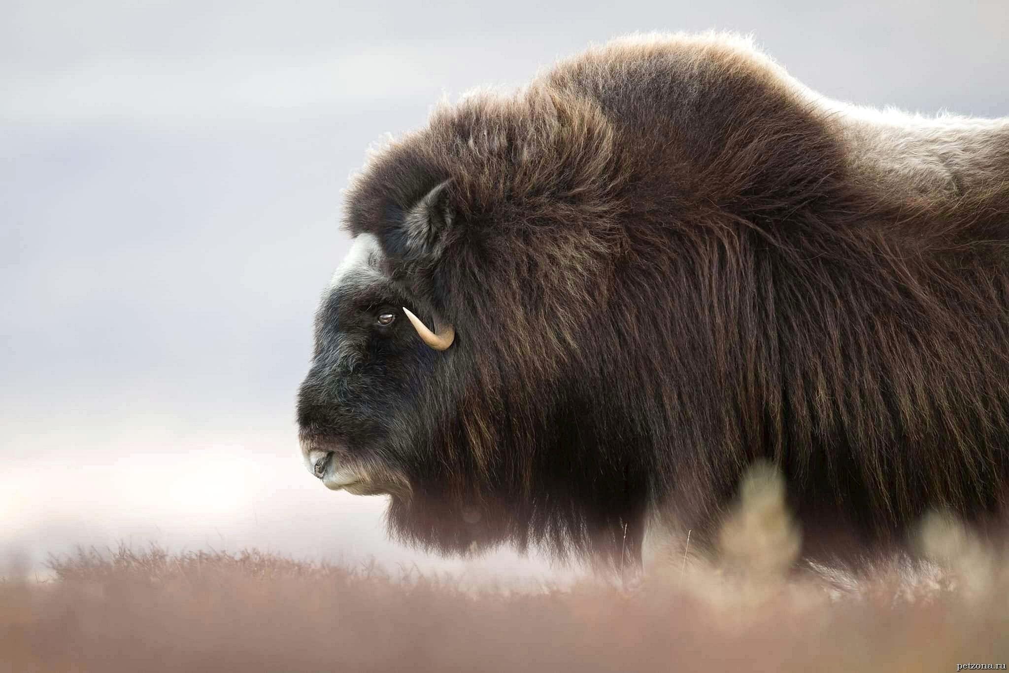 Овцебык - дальний родственник мамонта