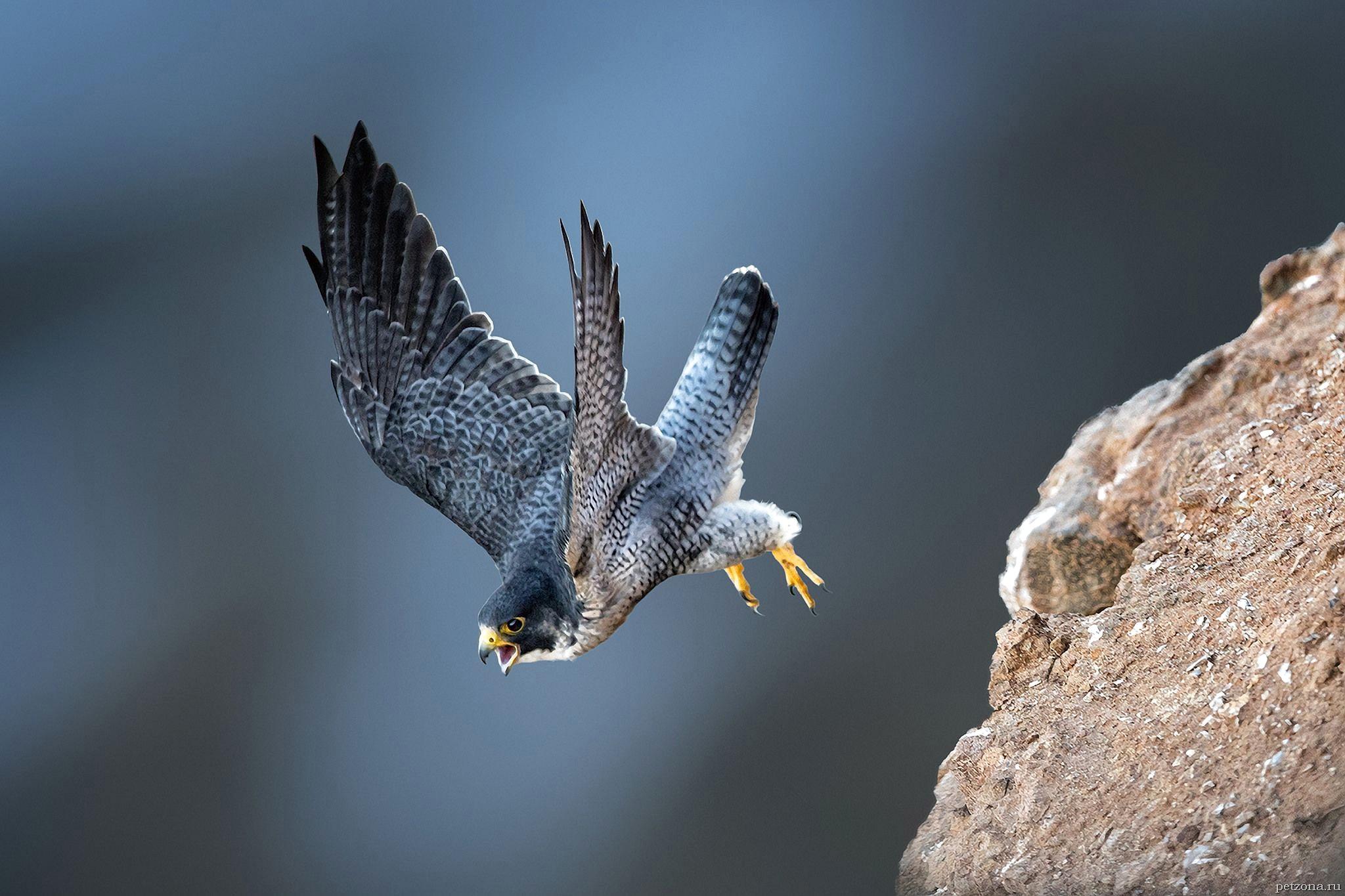 Сапсан - уникальная птица