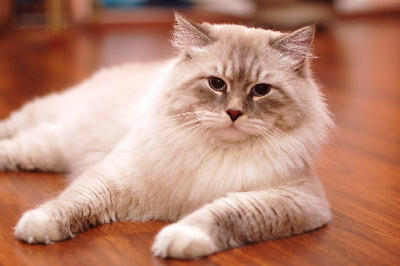 Невская Маскарадная кошка - национальный символ России