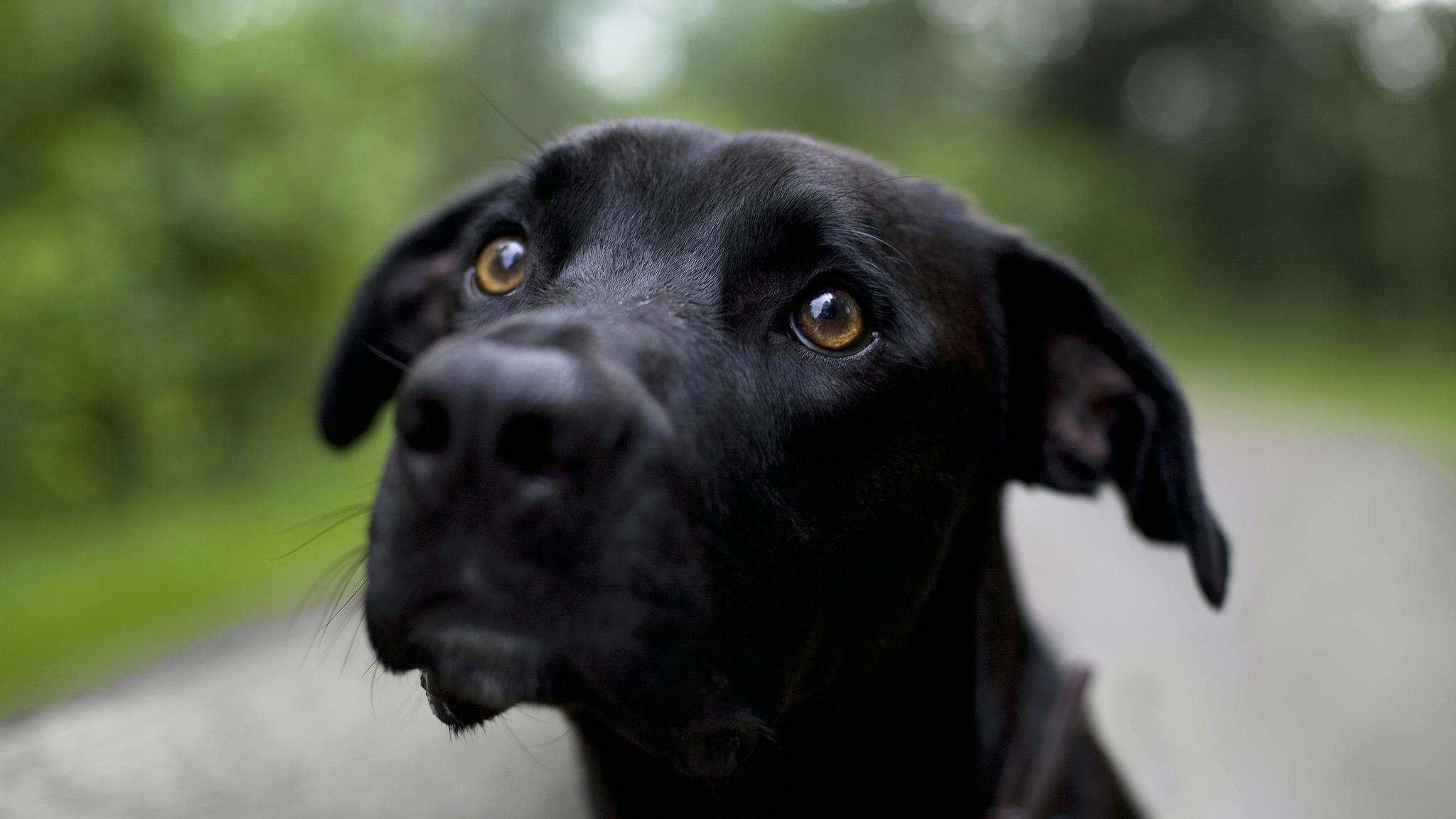 Стафилококкоз собак