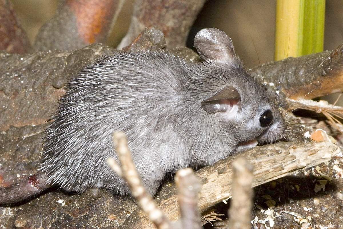 Домашняя иглистая мышь