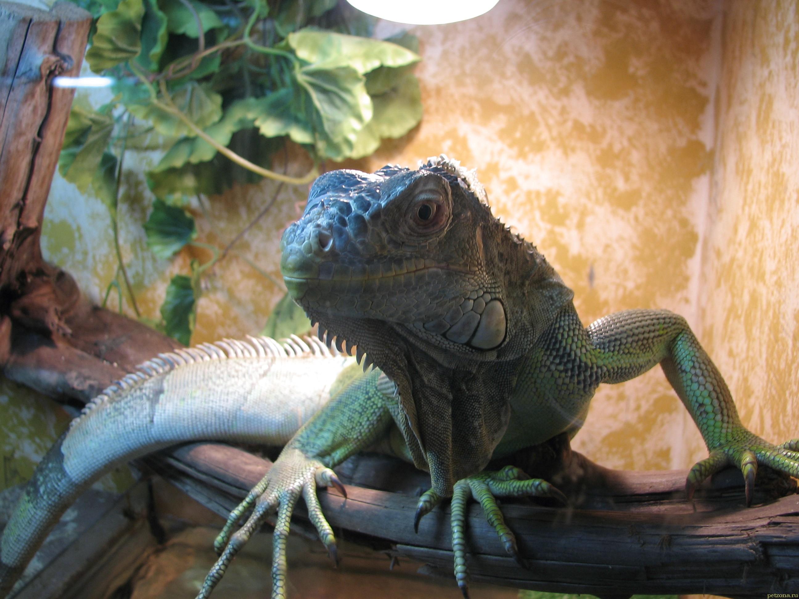 Игуана - дракон у Вас дома