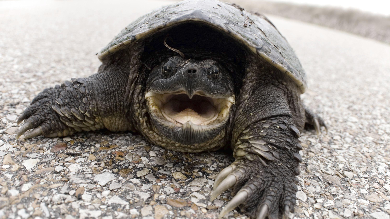 Каймановая черепаха и ее особенности