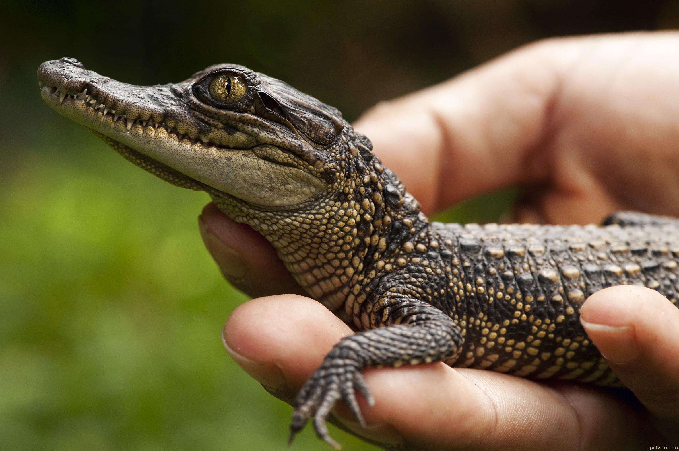 Крокодил дома. Что следует знать?