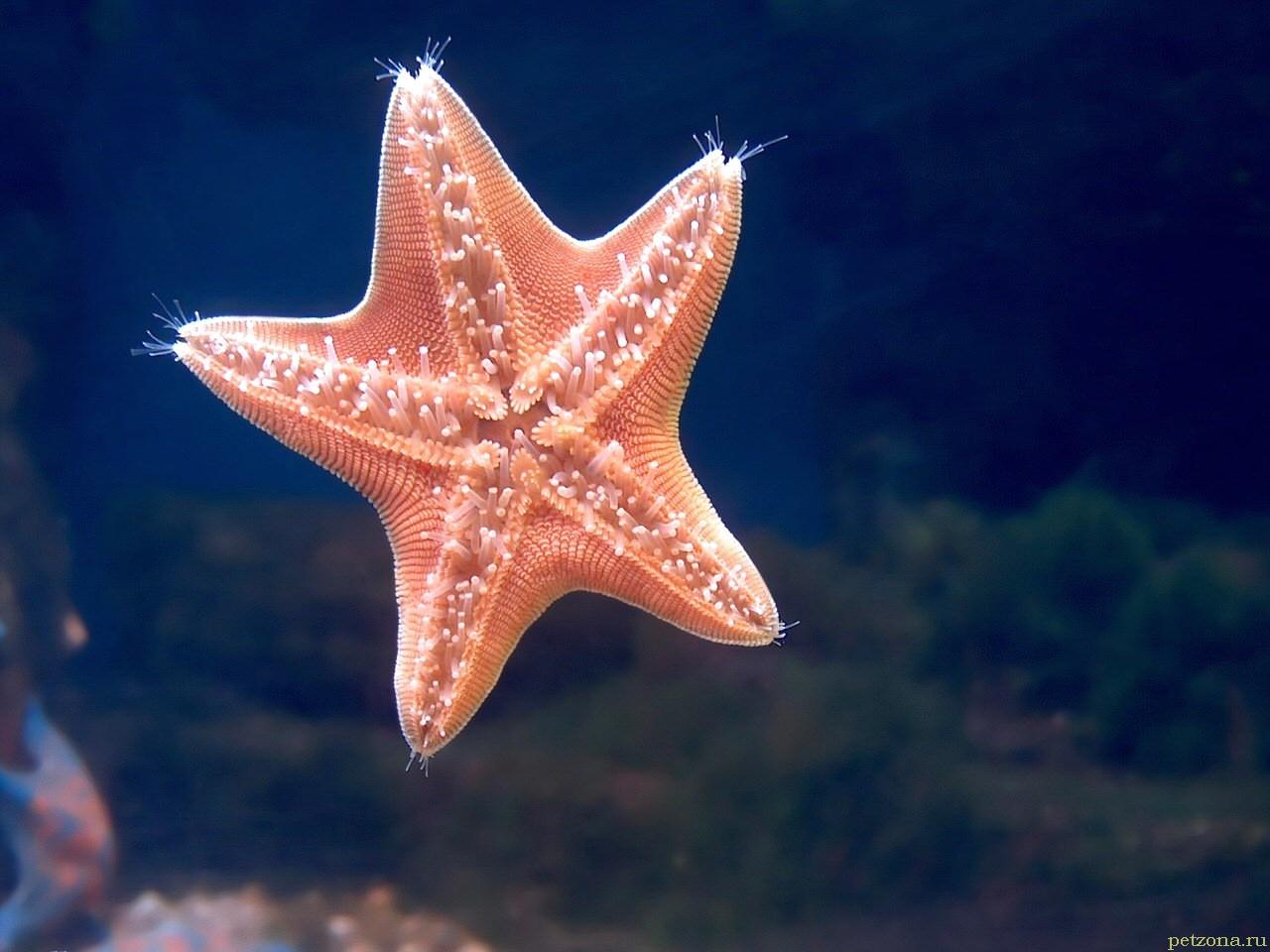 Морская звезда у вас дома. Кратко о главном