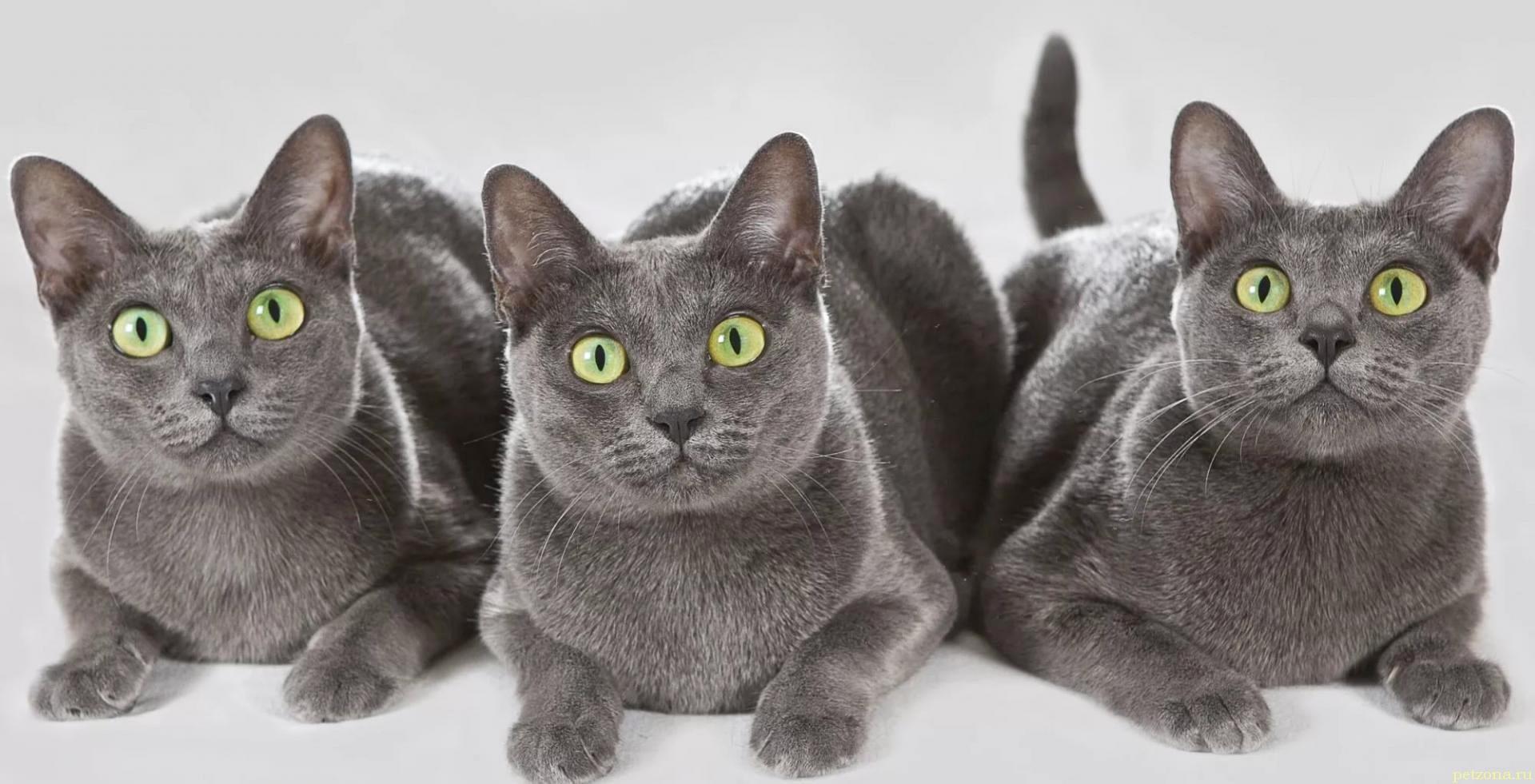 Тайландская порода кошек зарегистрирована