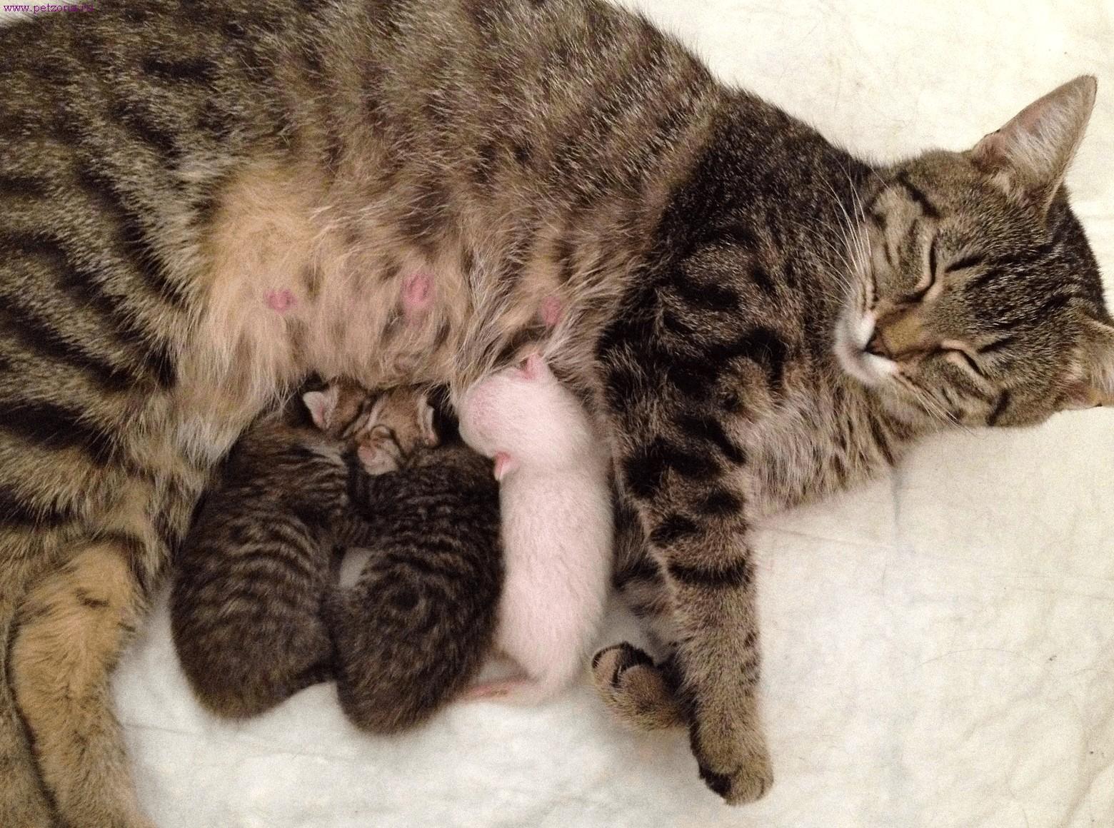 Что делать, если рожает кошка?