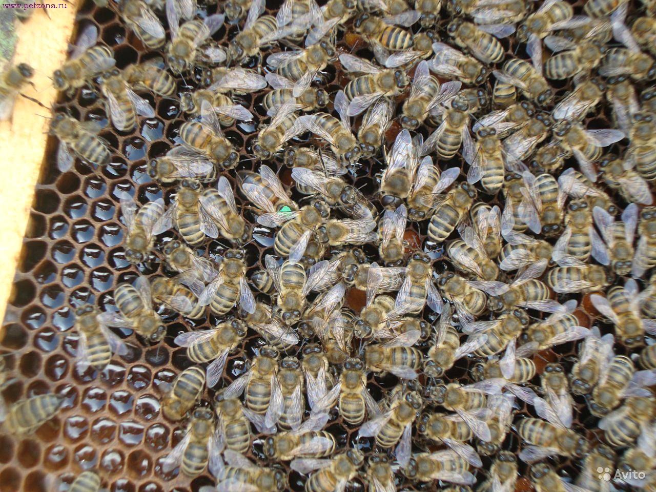Горная кавказская пчела