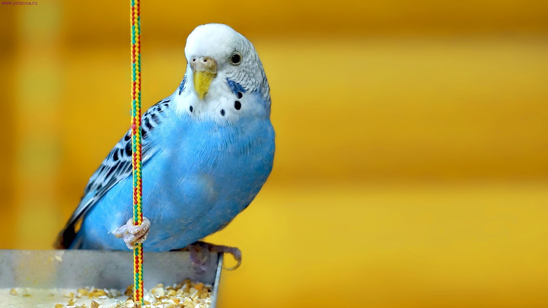 Как обучить разговору волнистого попугая