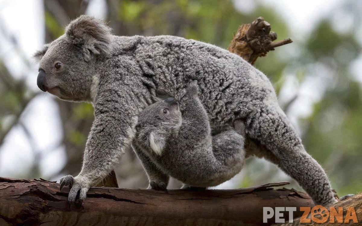 Австралийская редкость - коалы