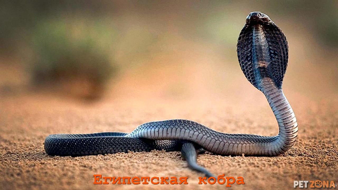 Египетская кобра 🐍