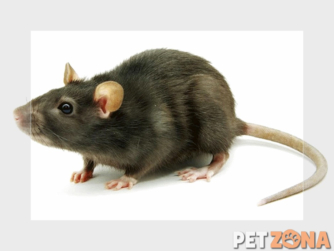 Как мыть крысе хвост