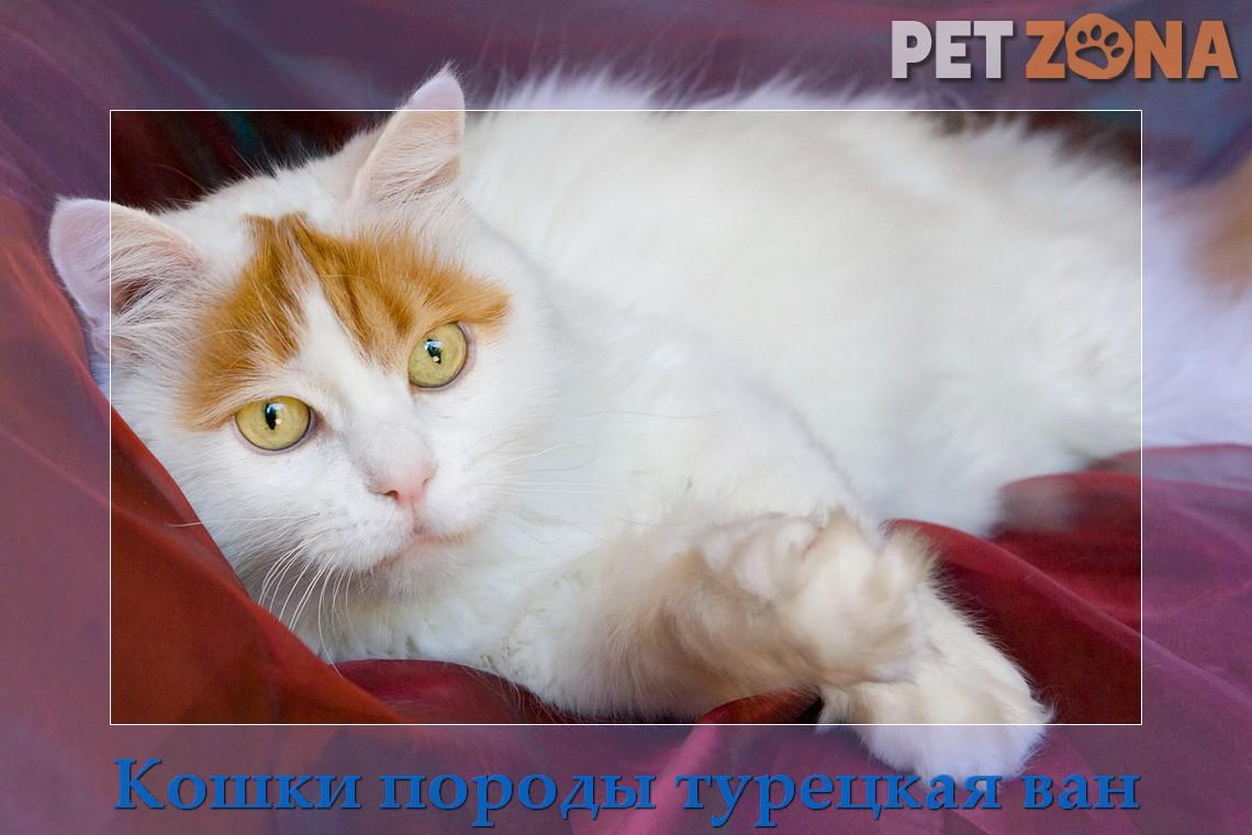 Кошки породы турецкая ван