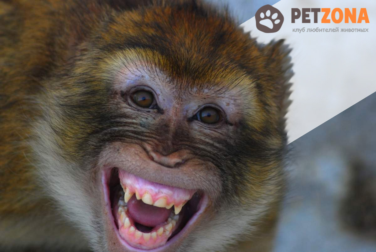 Маготы – единственные мартышки, свободно живущие в Европе