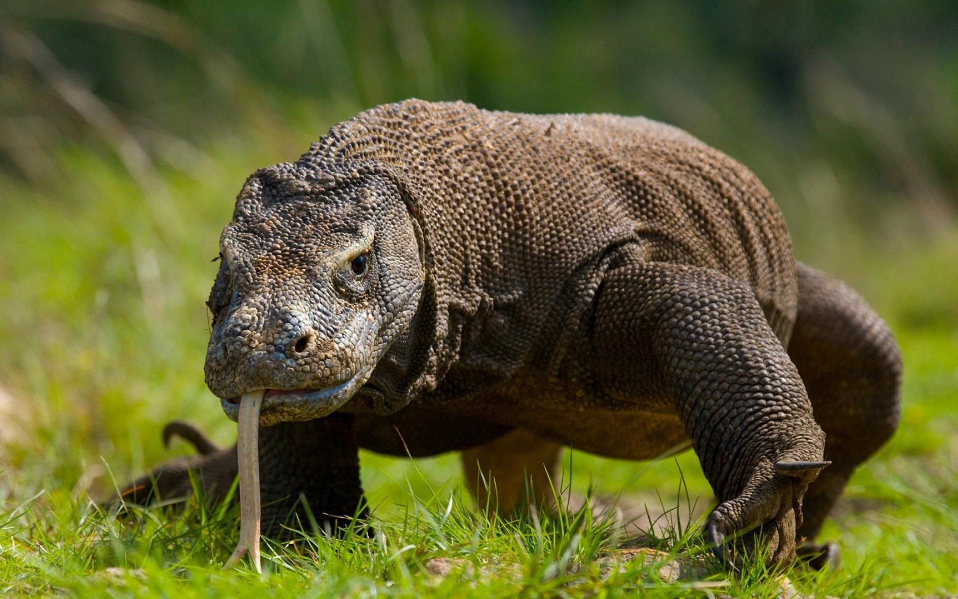 2 самые опасные в мире ящерицы