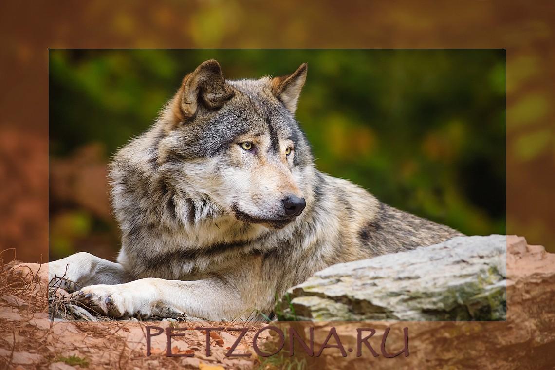 О чём воет волк в полнолуние?