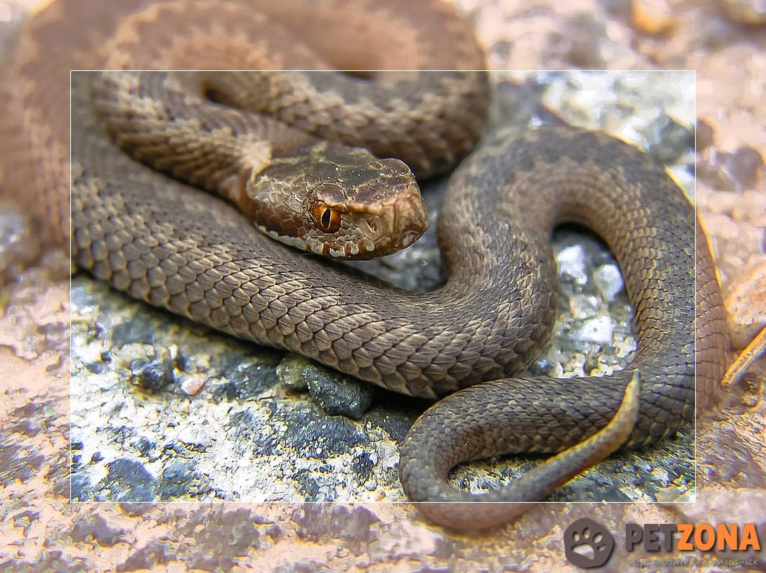 Гюрза - самая ядовитая змея в мире