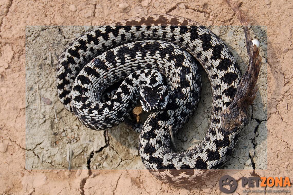 выгодные акции гюрза змея фото будет пусть семья