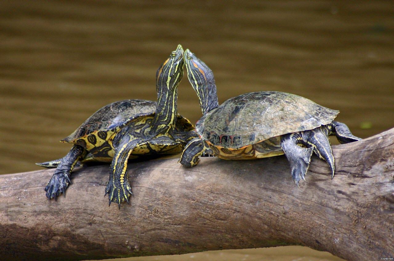 Черепахи в домашних террариумах