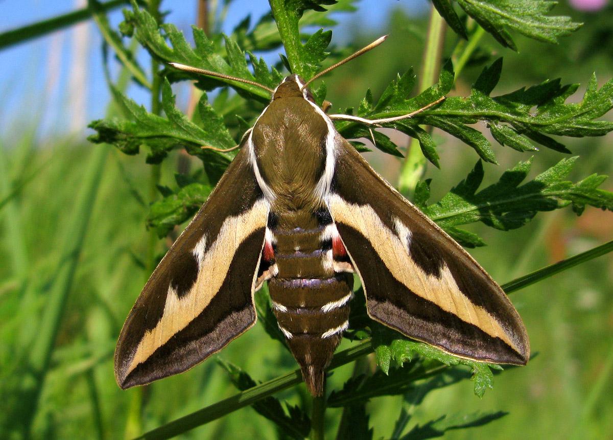 На отдыхе в Анапе увидела колибри. Присмотрелась и поняла, что это огромная бабочка