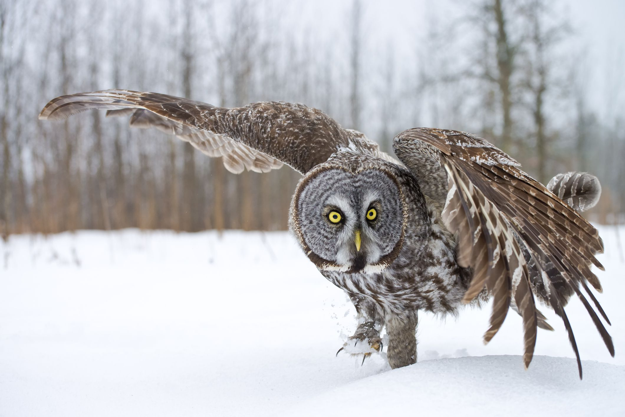 great gray owl facts - HD2048×1367