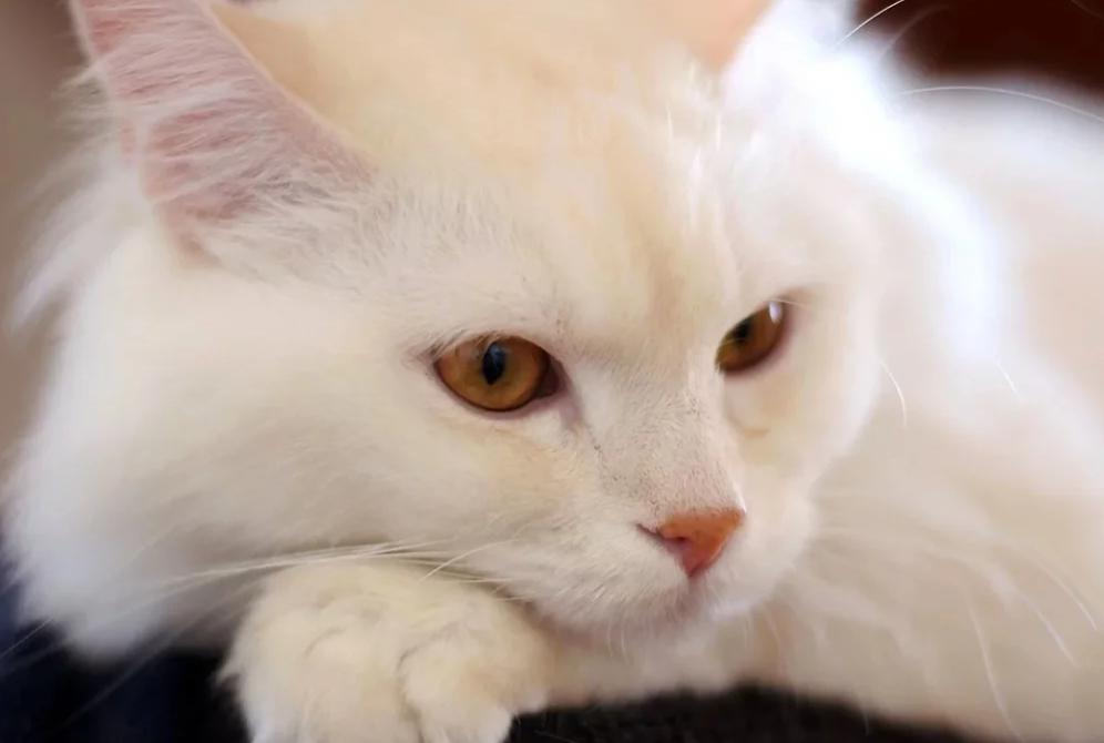 Нашла на лестнице белую кошку. Она оказалась глухой