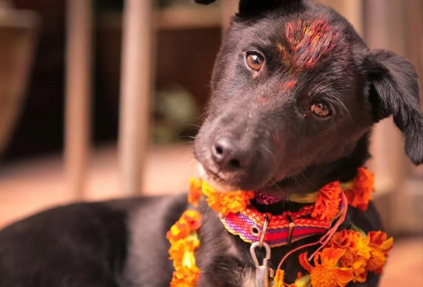 """""""Все лучшее собакам"""". Фестиваль собак в Непале"""