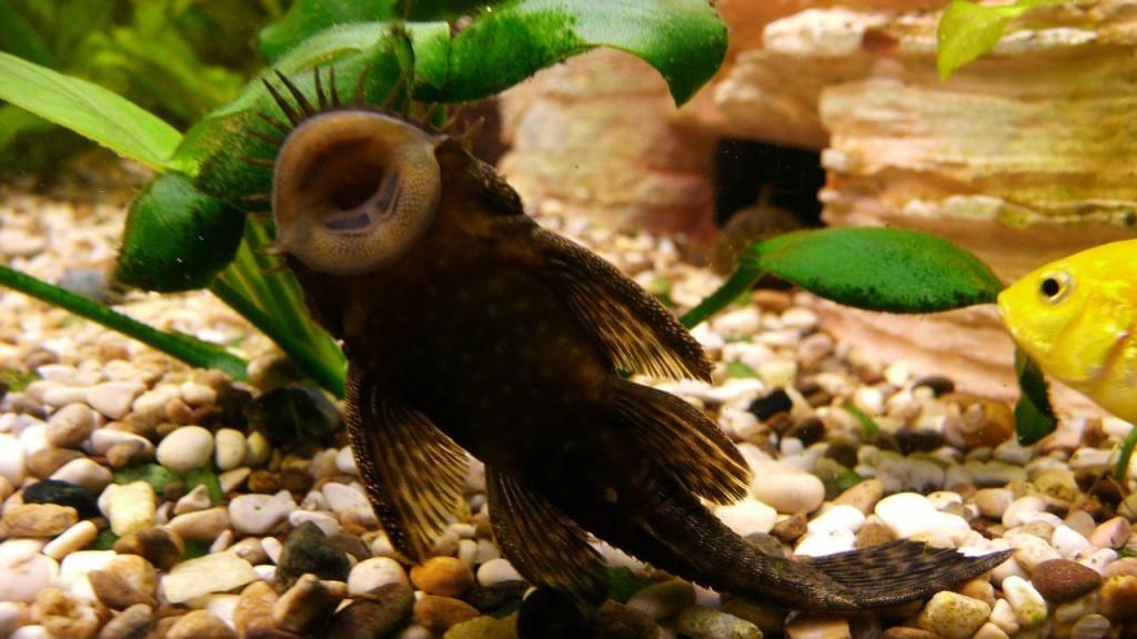 Аквариумная рыбка Анциструс обыкновенный