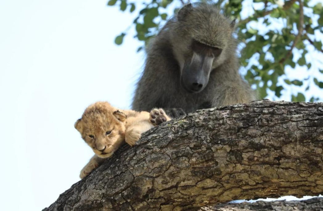 Зачем бабуину львенок? Добрый поступок или коварный умысел