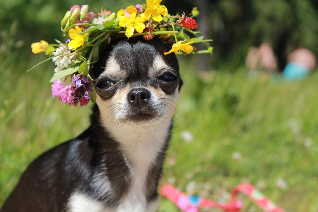 Маленькая собачка для настоящей модницы