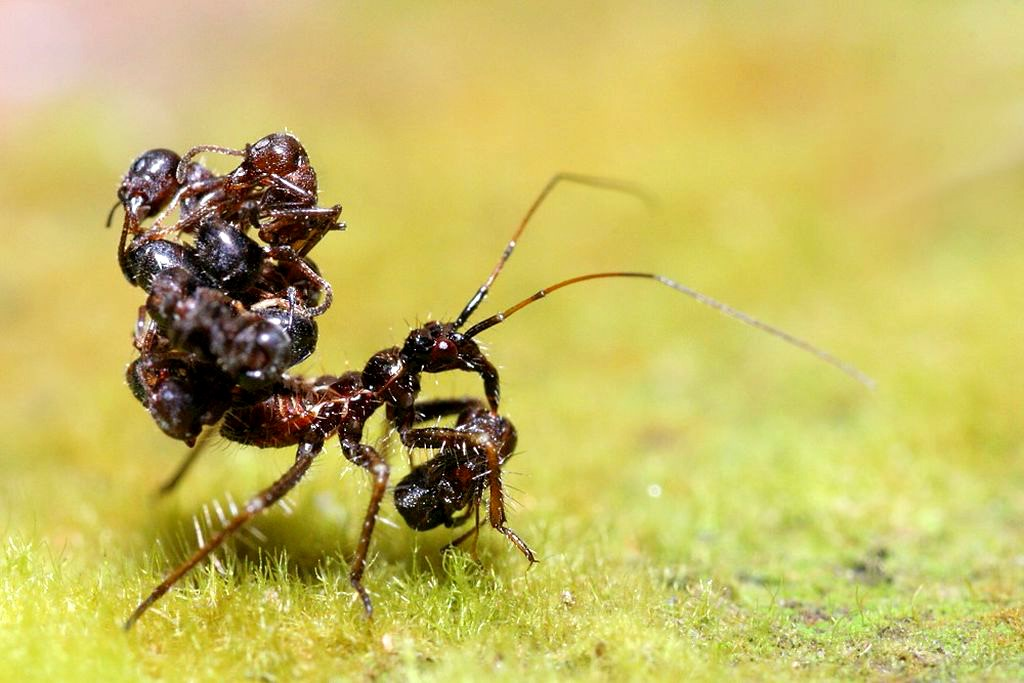 Клоп-хищнец: маскировка телами муравьев и другие странности
